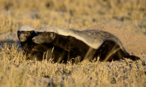Honey badgers (plural).