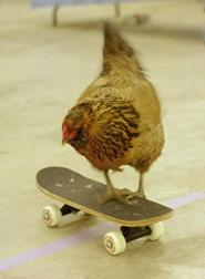 A trained chicken.